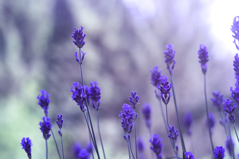 Lavendel_1170